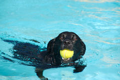Labrador Dog In Water With Ball Royalty Free Stock Image