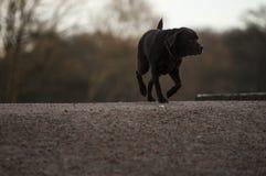 Labrador dog at the lake Stock Images