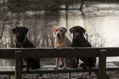 Labrador dog at the lake Royalty Free Stock Photos