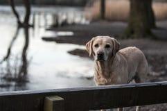 Labrador dog at the lake Stock Photo