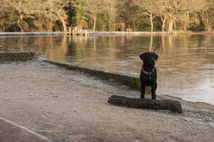 Labrador dog at the lake Royalty Free Stock Photo
