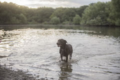 Labrador dog at the lake Stock Photography