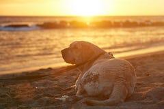 Labrador dog on leash on beach Royalty Free Stock Photography