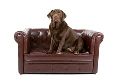 Labrador dog on leather couch stock photos