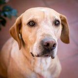 Labrador dog looking with curiosity. Home pet, labrador dog, looking into the distance with curiosity Stock Photos