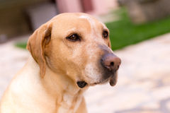 Labrador dog looking into distance. Home pet, labrador dog, looking into the distance with curiosity Stock Photo