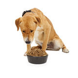 Labrador Dog Looking Down at Food Bowl Stock Photos