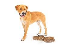 Labrador Dog Looking Down at Snake. Yellow Labrador Retriever dog walking forward and looking down at a dangerous rattlesnake royalty free stock image