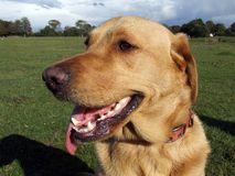 Labrador dog looking to his left. Labrador dog looking to the left Stock Images
