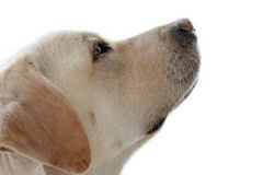 Labrador dog looking up isolated. A labrador dog is posing with a caring and tender attitude, looking up. Isolated with white background royalty free stock images