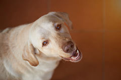 Labrador dog looking up Stock Photography
