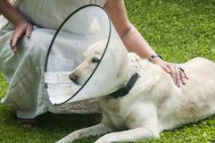 Labrador dog with medical collar royalty free stock photography