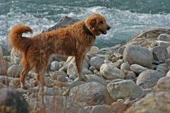 Labrador Dog Near Yhe Ocean Royalty Free Stock Image