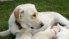 Labrador dog nursing her adorable puppies - lying in the grass stock footage