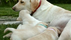 Labrador dog nursing her adorable puppies and playing stock video footage
