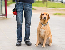 Labrador dog and owner in the city. Dog sitting in the street stock image