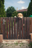 Labrador dog peeping from behind a fence Royalty Free Stock Photography