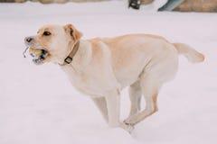 Labrador Dog Play Run Outdoor In Snow, Winter Season Royalty Free Stock Photography