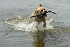 Labrador dog playing Royalty Free Stock Images