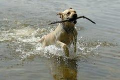 Labrador dog playing Stock Images