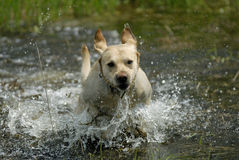 Labrador dog playing Royalty Free Stock Photo