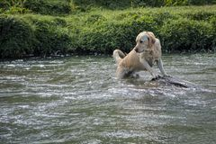 Labrador dog playing inside a river royalty free stock images
