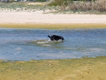 Labrador dog playing and running in the water Royalty Free Stock Photography