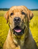 Labrador dog portrait on the grass in the field royalty free stock photos