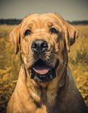 Labrador dog portrait on the grass in the field stock photos