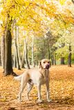 Labrador dog portrait, natural bokeh background. Labrador dog portrait . Idyllic Autumn trees out of focus, natural bokeh background stock photo