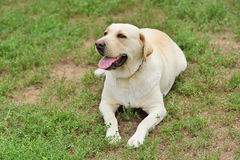 Labrador dog portrait Royalty Free Stock Images