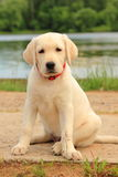 Labrador, dog, puppy, pet, cute, pale Stock Photos