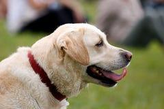 Labrador dog purebreed Stock Photos