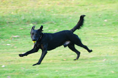 Labrador dog running Royalty Free Stock Photo