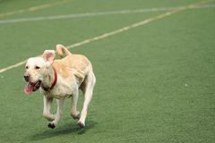 Labrador dog running royalty free stock image