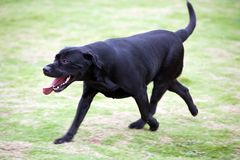 Labrador dog running Stock Photos