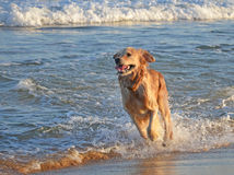 Golden Retriever dog running at the beach Royalty Free Stock Photo