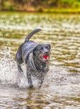 Labrador dog running in water Stock Image