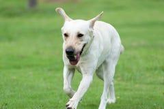 Labrador dog running Stock Image