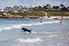 Labrador dog runs through the sea water Stock Photography