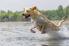 Labrador dog runs through the water. Of a lake stock images
