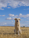 Labrador Dog in a Rural Landscape. Stock Photo