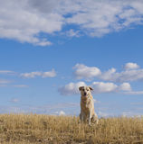Labrador Dog in a Rural Landscape. Stock Photos