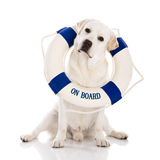 Labrador dog with a sailor buoy Royalty Free Stock Photography