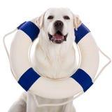 Labrador dog with a sailor buoy Royalty Free Stock Photos