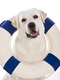 Labrador dog with a sailor buoy Royalty Free Stock Image
