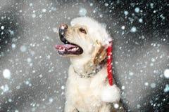Labrador dog in santa claus hat royalty free stock photo