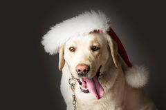 Labrador dog in santa claus hat royalty free stock image