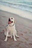 Labrador dog and sea Stock Photos