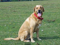 Labrador dog sitting awaiting a command Royalty Free Stock Images